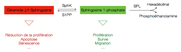 sphingolipides